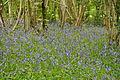 Bluebells in Plymbridge Woods (3541).jpg
