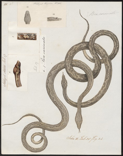 File:Boa carinata - 1734-1765 - Print - Iconographia Zoologica - Special Collections University of Amsterdam - UBA01 IZ11900099.tif