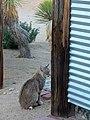 Bobcat 1 of 3 (8320360730).jpg