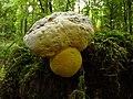 Boletaceae (38289545906).jpg
