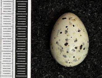 Cedar waxwing - Egg, Collection Museum Wiesbaden