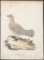 Bonasa betulina - 1786-1789 - Print - Iconographia Zoologica - Special Collections University of Amsterdam - UBA01 IZ17100387.tif