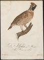 Bonasa betulina - 1800-1812 - Print - Iconographia Zoologica - Special Collections University of Amsterdam - UBA01 IZ17100383.tif