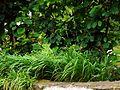 Brachypodium pinnatum-(dkrb)-3.jpg