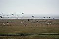 Branta leucopsis flock in flight, Westerhever, Germany.jpg