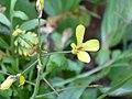 Brassica tournefortii Enfoque 2010-1-24 SierraMadrona.jpg