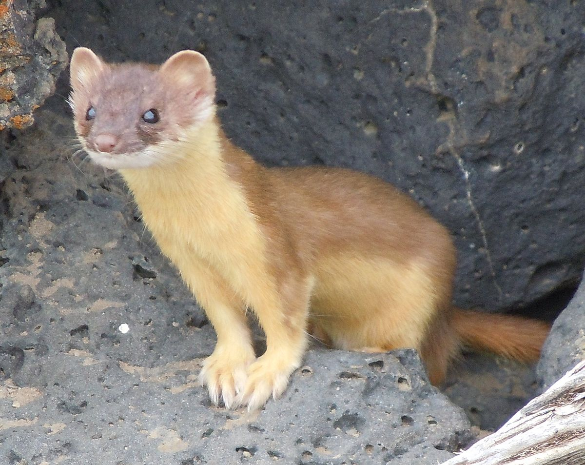 long tailed weasel wikipedia