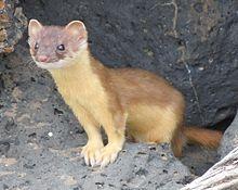 Bridled weasel.jpg