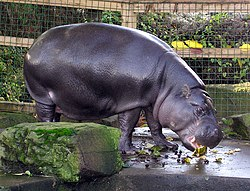 Hipopótamo-pigmeu no Zoológico de Bristol, Inglaterra