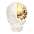 Broca's area - anterior view.png