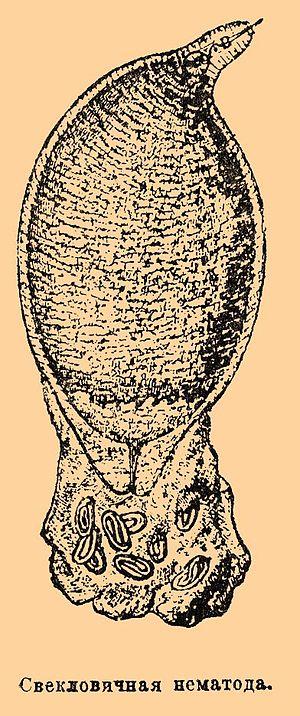 Heterodera schachtii - Image: Brockhaus and Efron Encyclopedic Dictionary b 57 096 1
