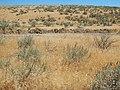 Bromus tectorum southeast of Boise (14798661571).jpg