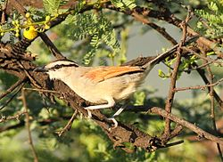Brown-crowned Tchagra, Tchagra australis at Pilanesberg National Park, Northwest Province, South Africa (17432228342).jpg