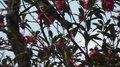 File:Brown-eared bulbul (Hypsipetes amaurotis) in Japan.webm