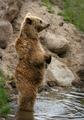 Brown bear (Ursus arctos arctos) standing.png