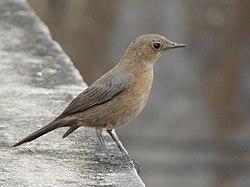 Brown indian bird.jpg