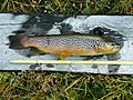Brown trout in Tierra del Fuego, Chile.jpg