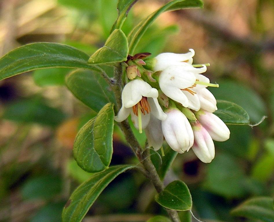 Brusnica obyčajná - kvety