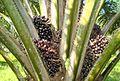 Buah kelapa sawit (40).JPG