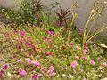 Budrose plant.jpg