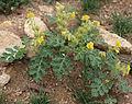 Buffalo berry Solanum rostratum plant.jpg