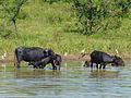 Buffles d'eau-Uda Walawe National Park (2).jpg