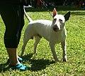 Bull Terrier white4.JPG