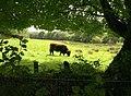 Bullock near Wadley Brook - geograph.org.uk - 1468520.jpg