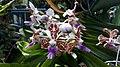 Bunga anggrek Vanda tricolor.jpg