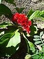 Célosia cristata fleur rouge-orange.JPG