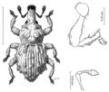 COLE Curculionidae Baeosomus polytrichi.png