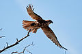 CSIRO ScienceImage 10653 Brown falcon Wilsons Promontory Victoria.jpg