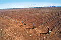 CSIRO ScienceImage 4645 New trickle dripper irrigation system at McWilliams vineyard near Griffith NSW.jpg