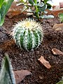Cactus Echinopsis.jpg