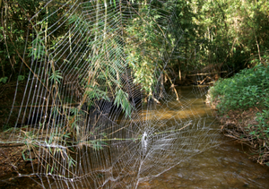 Darwin's bark spider - A web of Darwin's bark spider