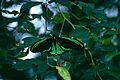 Cairns Birdwing (Ornithoptera euphorion) (9875079324).jpg