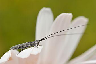 Calamobius filum (31942312565).jpg