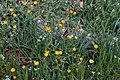 Calendula arvensis-Souci des champs-Plantes-201903018.jpg