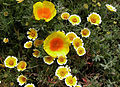 California Poppies & Tidytips (14546871654).jpg