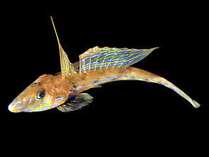 Gestreifter Leierfisch (Callionymus lyra)