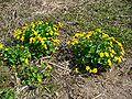Caltha palustris 001.JPG