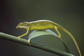 Archaius - Seychelles tiger chameleon (Archaius tigris)