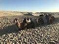 Camels at Anna Bay.jpg