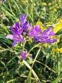 Campanula glomerata subsp. glomerata sl2.jpg