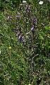 Campanula sibirica 1.jpg