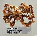 Camposcia retusa - National Museum of Nature and Science, Tokyo - DSC07557.JPG