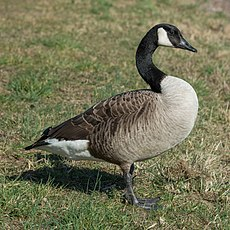Canada Goose near Oestrich, Germany 20150311 3.jpg