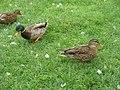 Canards colverts femelles et mâle (Anas platyrhynchos) (1).jpg