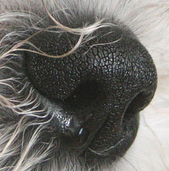 Nose - Dogs have very sensitive noses