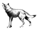 Canis lupus looking up (illustration).png